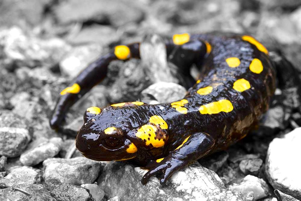 Fire salamander (Salamandra salamandra), Roethelstein, Almenland, Styria, Austria, Europe