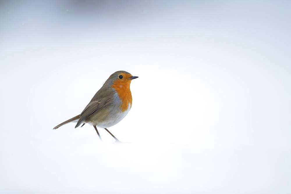 European robin (Erithacus rubecula), standing in snow, Suffolk, England, United Kingdom, Europe - 832-384877