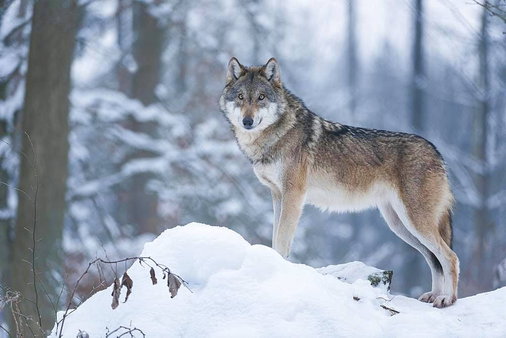 Gray wolf (Canis lupus), wolf standing in the snow, captive, Bavaria, Germany, Europe