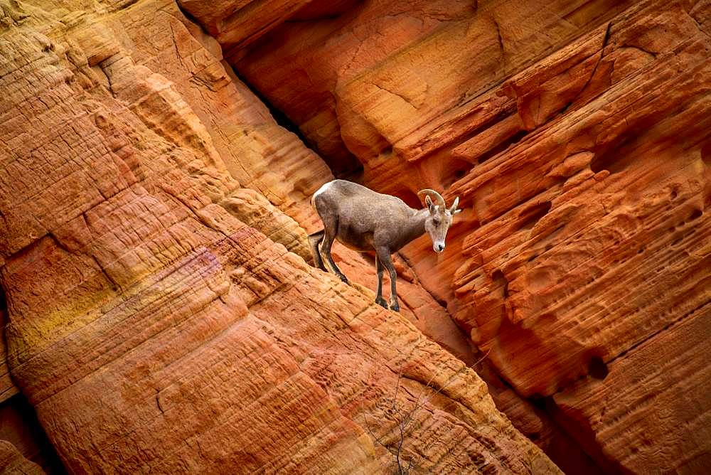 Desert bighorn sheep (Ovis canadensis nelsoni) climbs on red sandstone rocks, Rainbow Vista, Valley of Fire State Park, Nevada, USA, North America