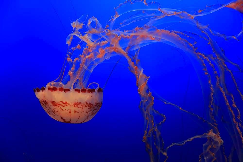 Purple-striped Jellyfish (Chrysaora colorata), in water, California, USA, North America