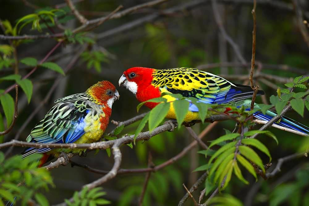 Eastern rosella (Platycercus eximius), animal pair sitting on branch, captive, Germany, Europe