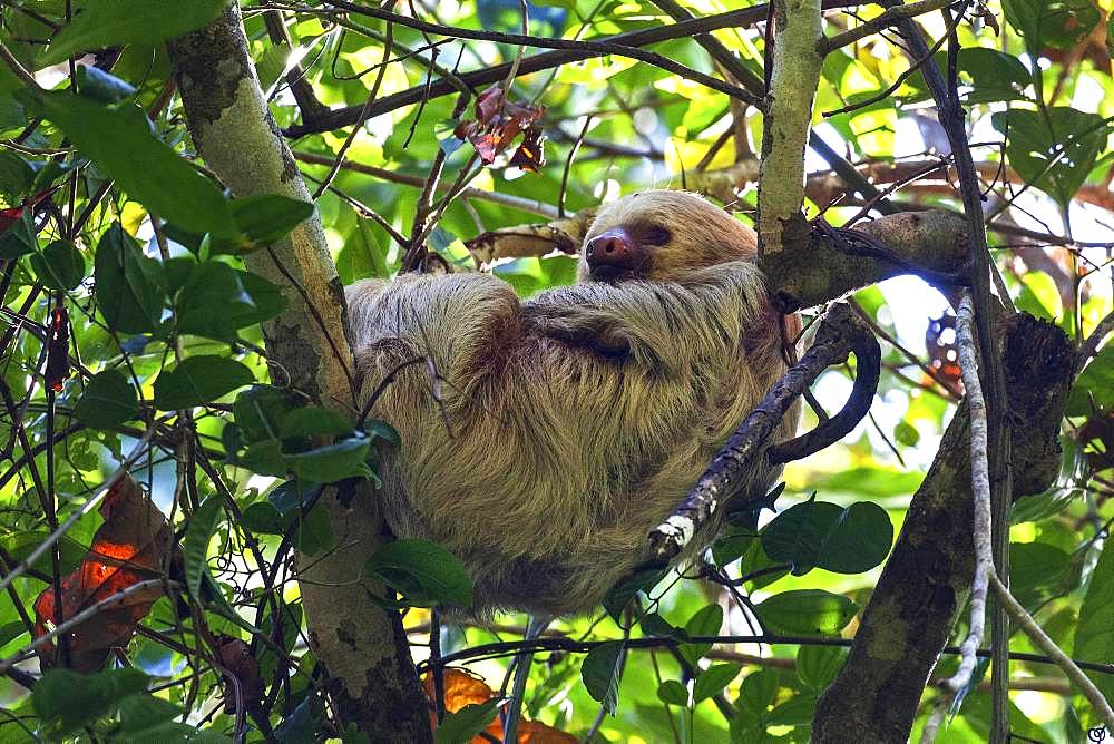 Two-toed sloths (Choloepus) sleeps in the tree, Manuel Antonio National Park, Parque Nacional Manuel Antonio, Province Puntarenas, Costa Rica, Central America