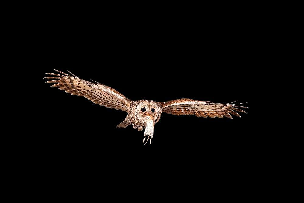 Tawny owl (Strix aluco) flies at night with a Bank vole (Clethrionomys glareolus) in its beak, North Rhine-Westphalia, Germany, Europe