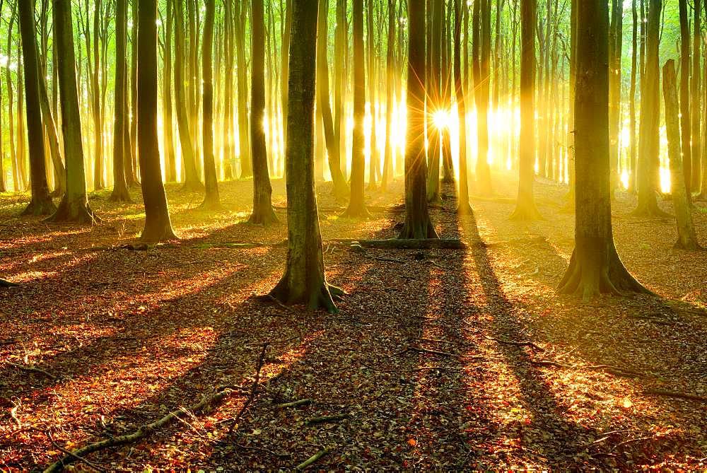 Sun shines brightly through natural beech forest (Fagus sp.), Stubnitz, Jasmund National Park, island Ruegen, Mecklenburg-Western Pomerania, Germany, Europe