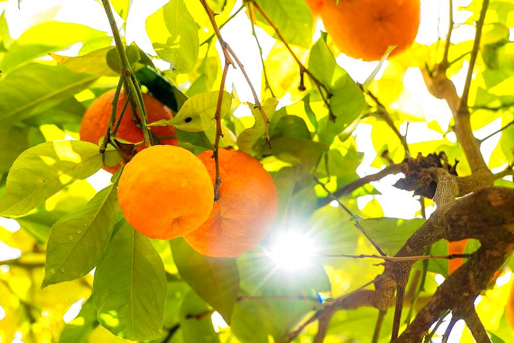 Ripe oranges backlit, Granada, Spain, Europe