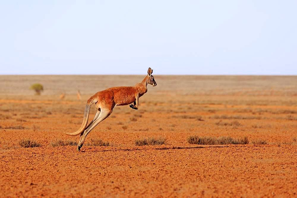 Red kangaroo (Macropus rufus), adult, jumping, wide dry landscape, Sturt National Park, New South Wales, Australia, Oceania