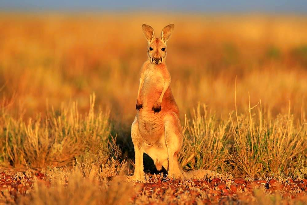 Red kangaroo (Macropus rufus), young standing, vigilant, Sturt National Park, New South Wales, Australia, Oceania