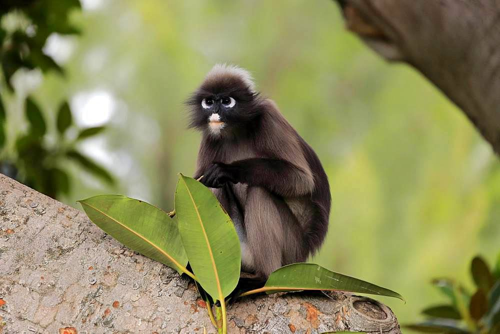 Dusky leaf monkey (Trachypithecus obscurus), adult on tree, captive, Adelaide, South Australia, Australia, Oceania