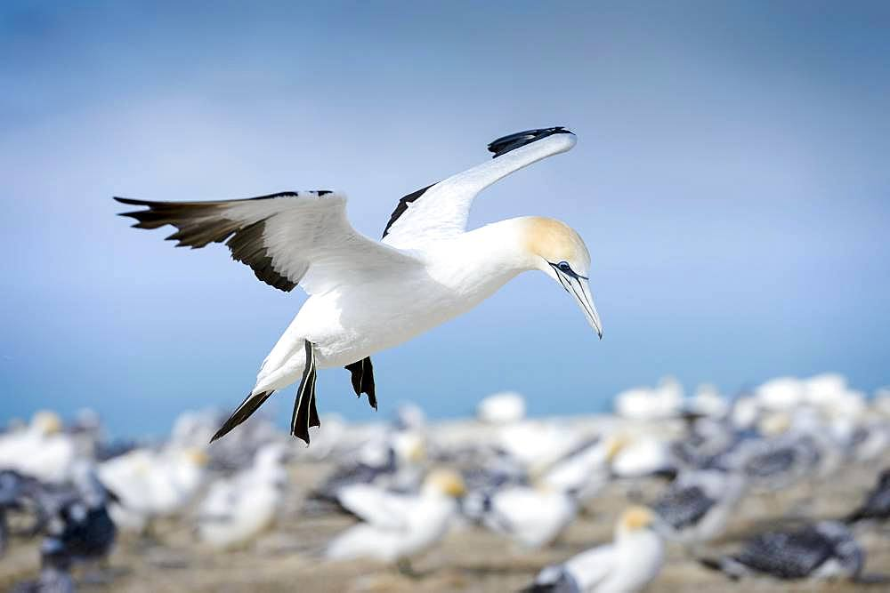 Australasian gannet (Morus serrator) in flight, dolt colony Cape Kidnappers, Hawke Bay, Hastings District, North Island, New Zealand, Oceania
