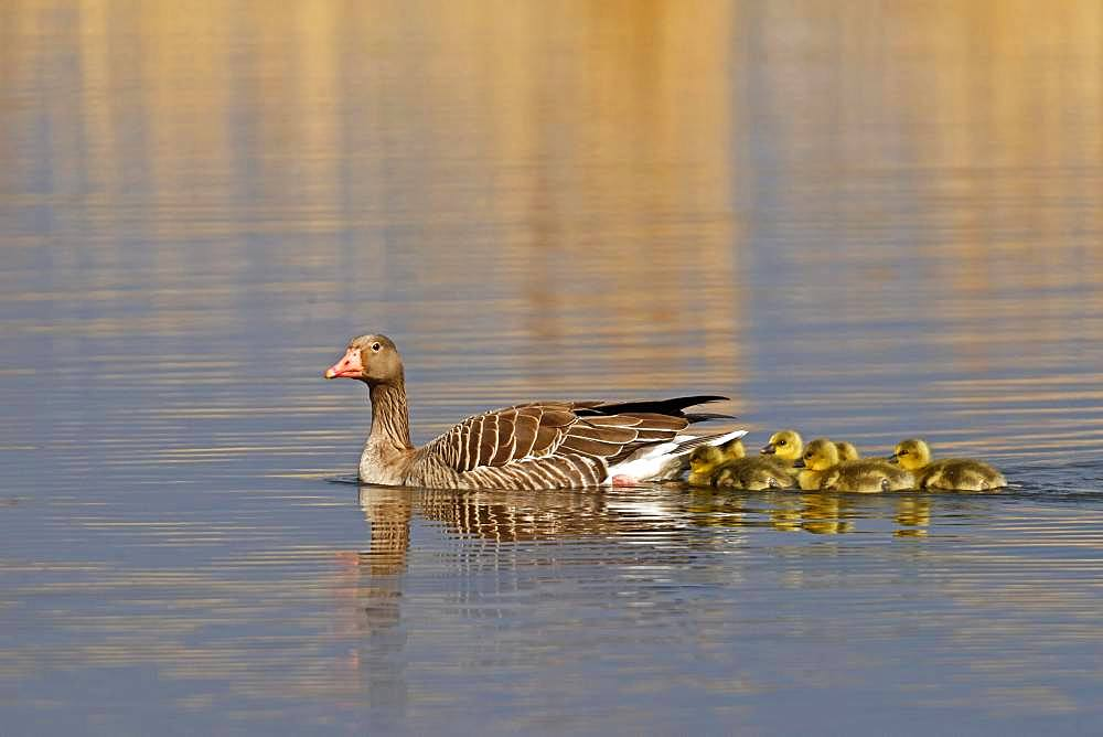 Greylag goose (Anser anser) with chicks, Germany, Europe
