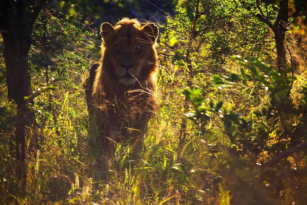 African Lion (Panthera leo), male standing in bushes, back light, Klaserie nature reserve, South Africa, Africa