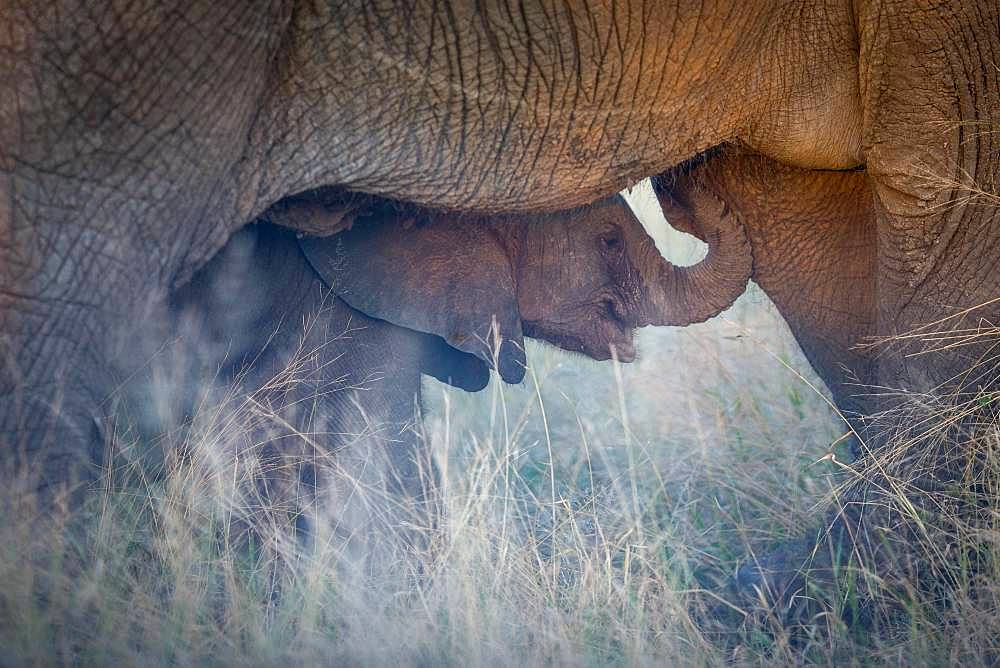 African elephant (Loxodonta africana), elephant baby seeks protection under mother, Klaserie Nature Reserve, South Africa, Africa