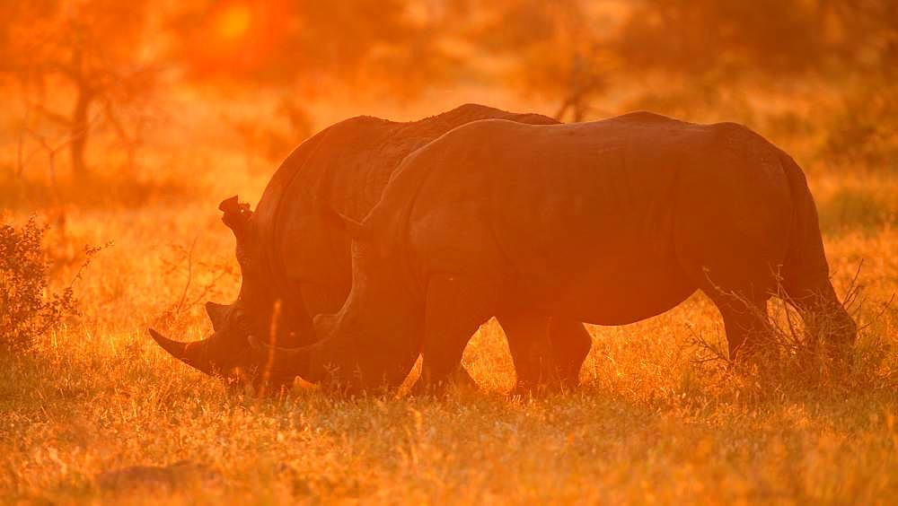 White rhinoceros (Ceratotherium simum), couple grazing in backlight, sunset, Manyeleti Game Reserve, South Africa, Africa