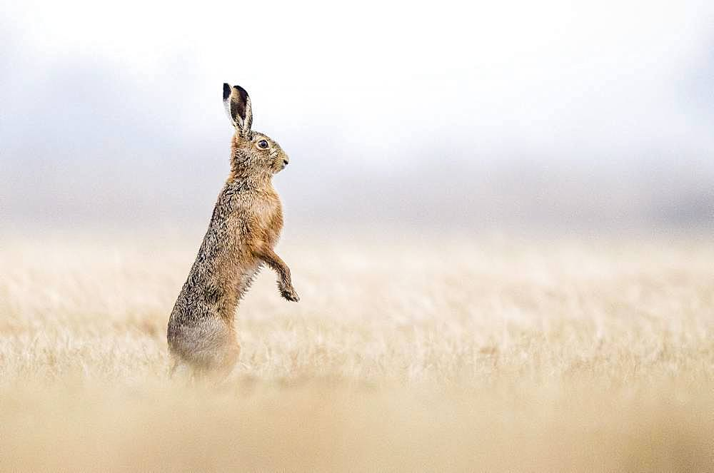 European hare (Lepus europaeus) stands upright in field, Burgenland, Austria, Europe