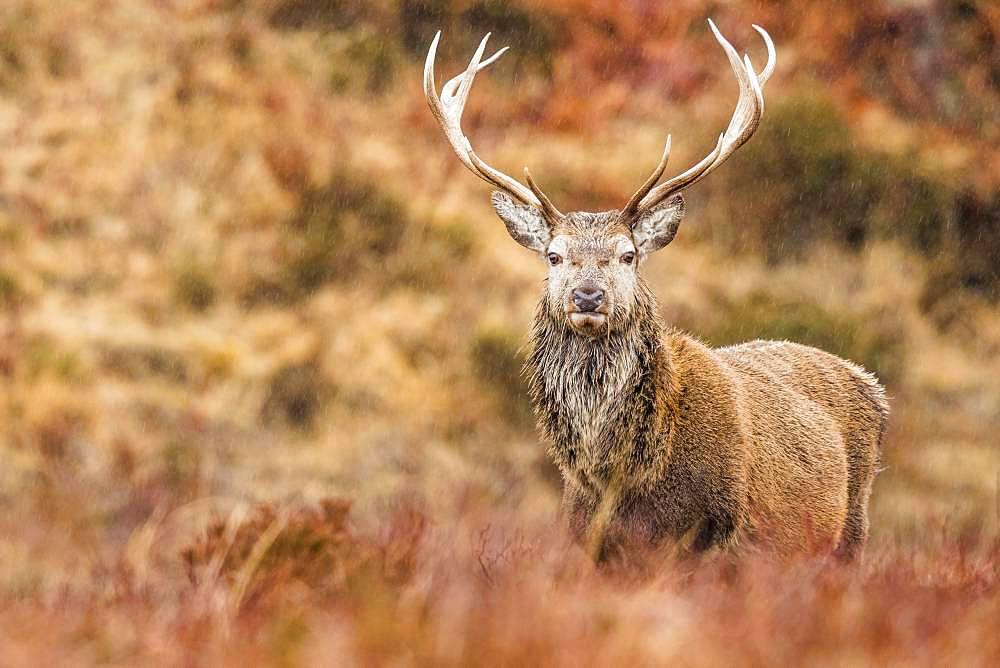 Red deer (Cervus elaphus) stands in the rain in autumn landscape, Highlands, Scotland, Great Britain