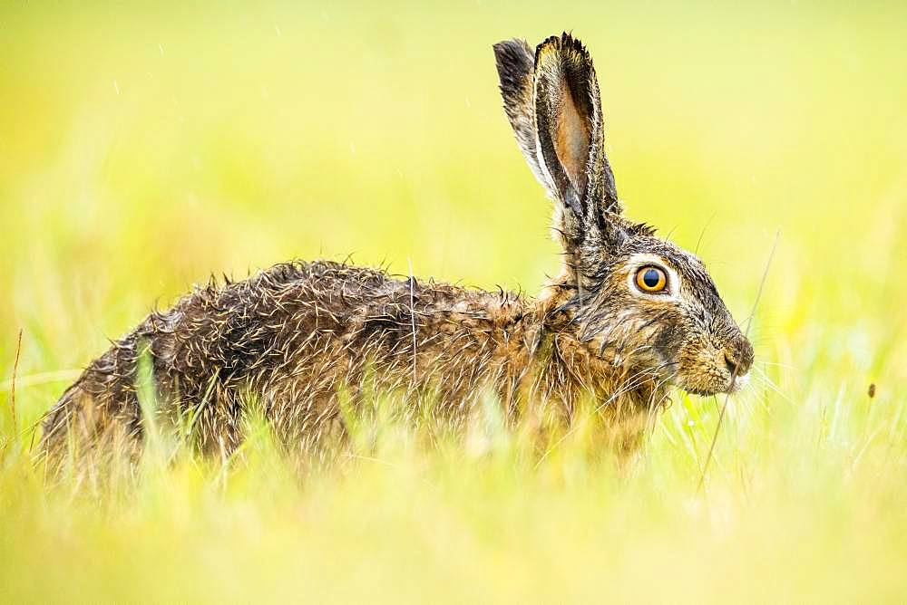 European hare (Lepus europaeus) sitting wet in the field, Burgenland, Austria, Europe