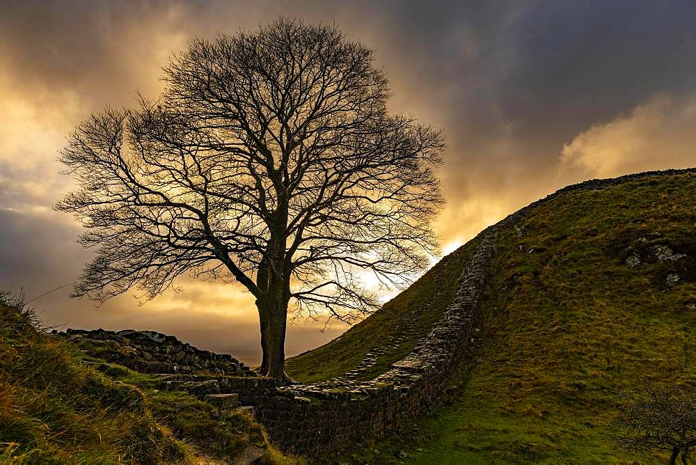 Autumn tree on a stone wall in a depression with a dramatic lighting atmosphere, Greenhead, Northumberland, Great Britain