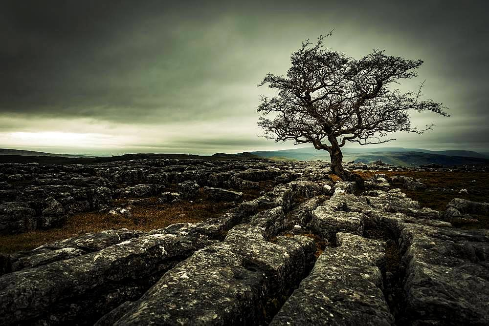 Bald tree on rocky ground with dramatic cloud sky, Settle, Yorkshire Dales National Park, Midlands, United Kingdom, Europe
