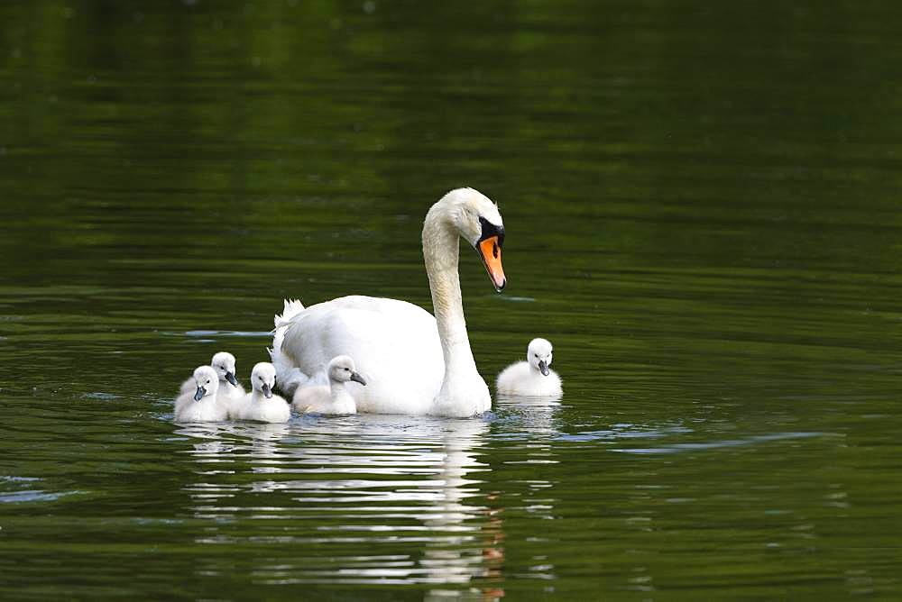 Mute swan (Cygnus olor) swims with chicks in the water, Baden Wuerttemberg, Germany, Europe