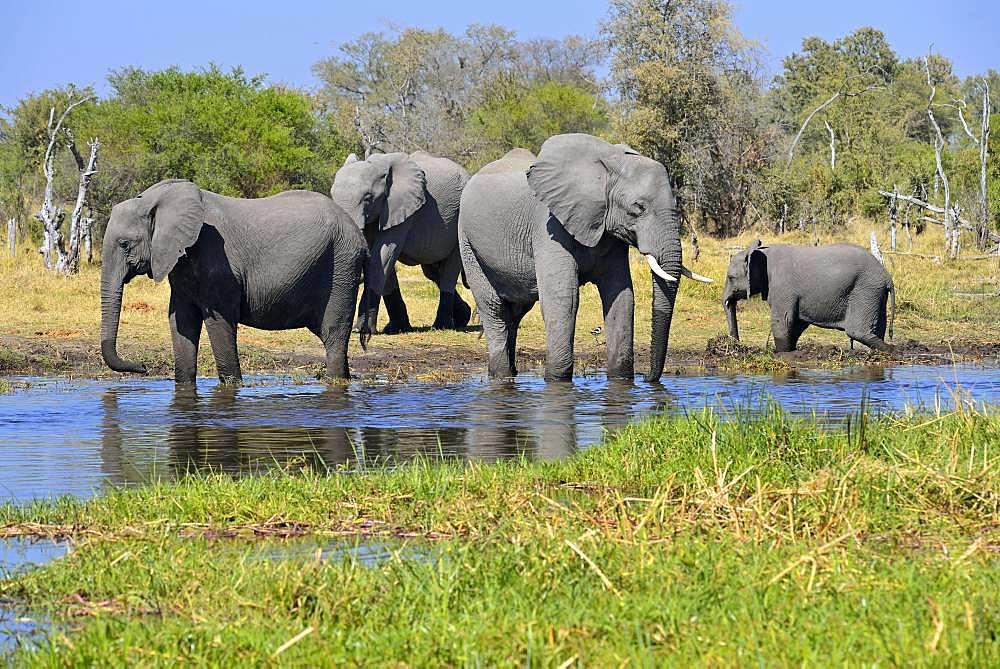 African elephants (Loxodonta africana) at Khwai river, Moremi Game Reserve, Botswana, Africa
