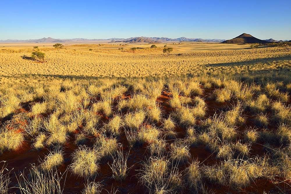 With grass overgrown dunes, view over desert landscape, NamibRand Nature Reserve, Namib desert, Namibia, Africa