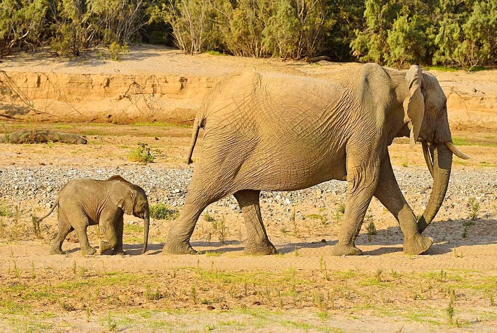 Namibian Desert elephants (Loxodonta africana), cow and calf walking, Hoarusib River, Namib Desert, Kaokoland, Kaokoveld, Kunene Province, Namibia, Africa