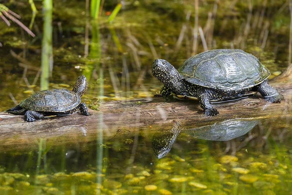 European pond turtles (Emys orbicularis), sitting on wood in the water, Lower Austria, Austria, Europe