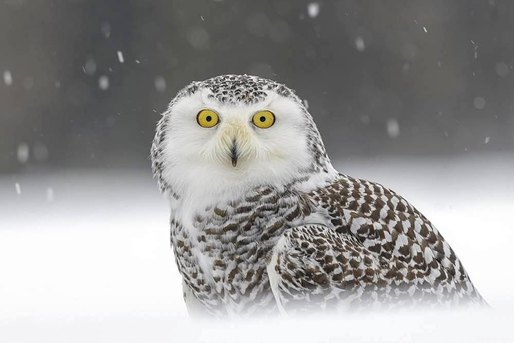 Snowy owl (Bubo scandiacus), sitting in the snow, snowstorm, animal portrait, captive, Sumava National Park, Bohemian Forest, Czech Republic, Europe