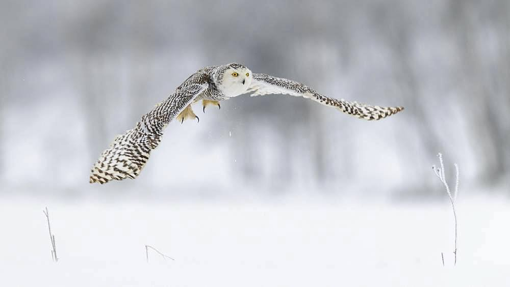 Snowy owl (Bubo scandiacus), flying in a snowy landscape, captive, Sumava National Park, Sumava Forest, Czech Republic, Europe