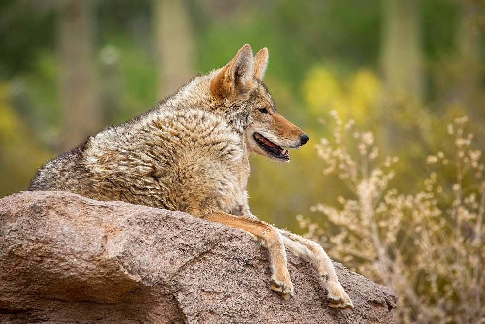 Coyote (Canis latrans) lies on rocks in cactus landscape, Arizona-Sonora Desert Museum, Tucson, Arizona, USA, North America