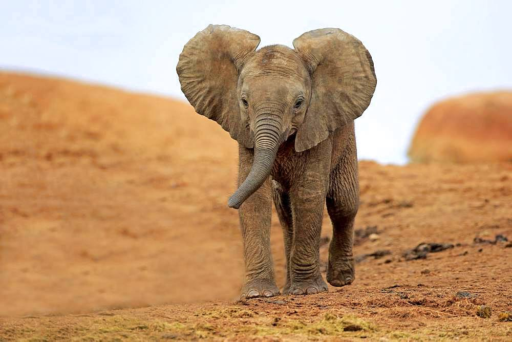 African elephant (Loxodonta africana), young animal walking, Addo Elephant National Park, Eastern Cape, South Africa, Africa