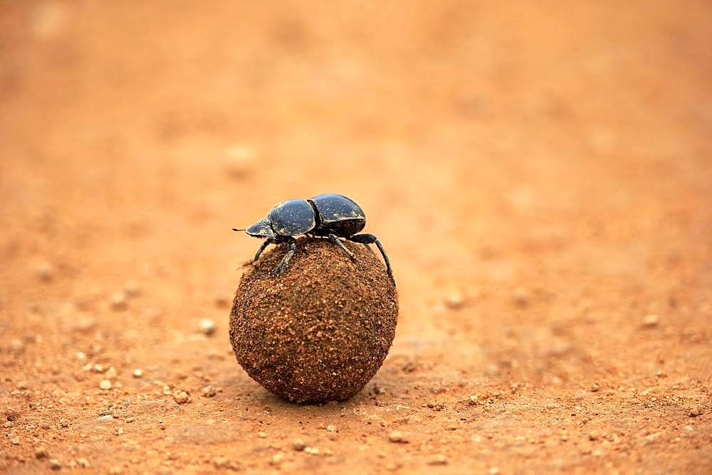 Dung beetle (Scarabaeus sacer), rolls ball of elephant dung, Addo Elephant National Park, Eastern Cape, South Africa, Africa