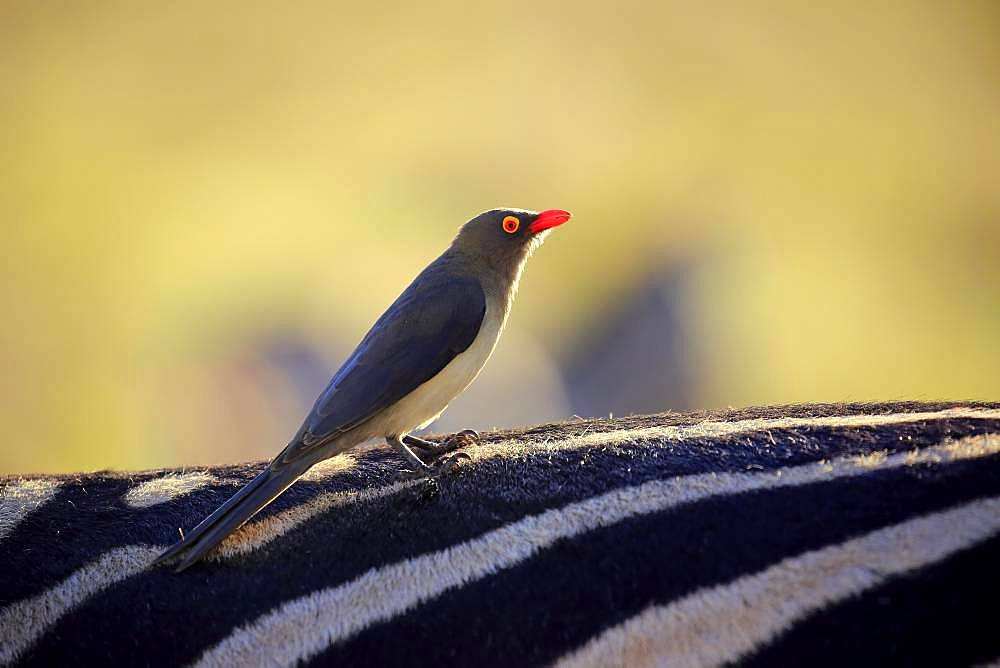 Red-billed oxpecker (Buphagus erythrorhynchus), adult, stands on zebra, host animal, symbiosis, Addo Elephant National Park, Eastern Cape, South Africa, Africa