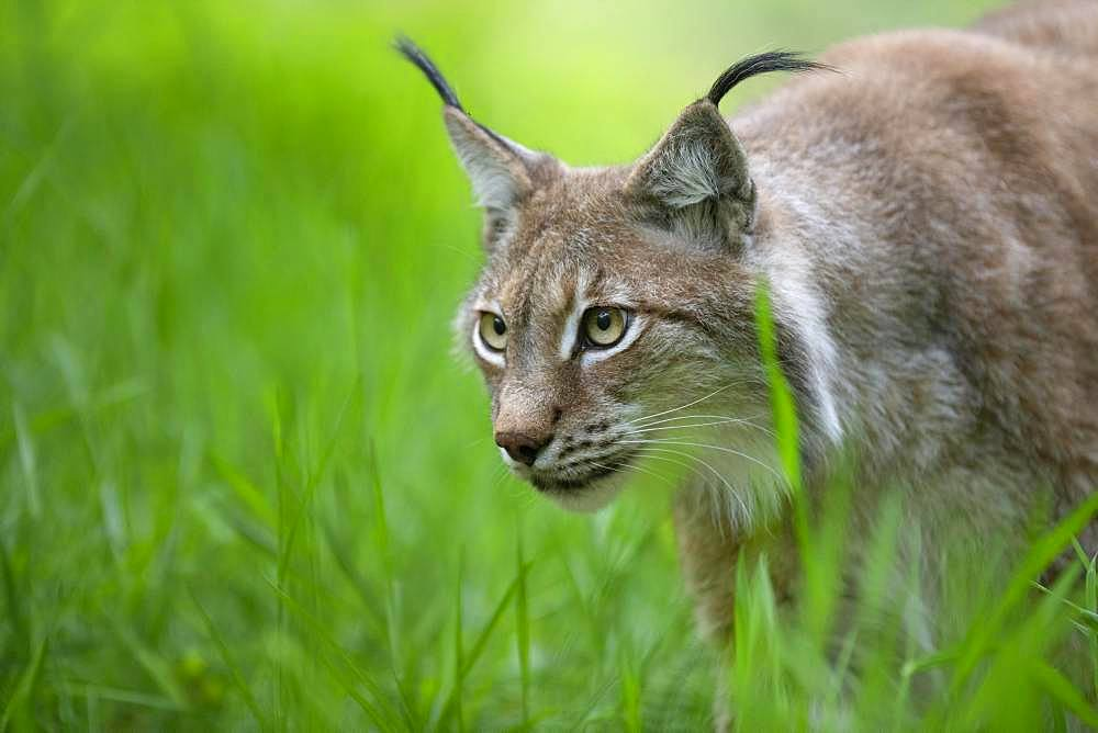 Eurasian lynx (Lynx lynx) on the stalk, Saarland, Germany, Europe