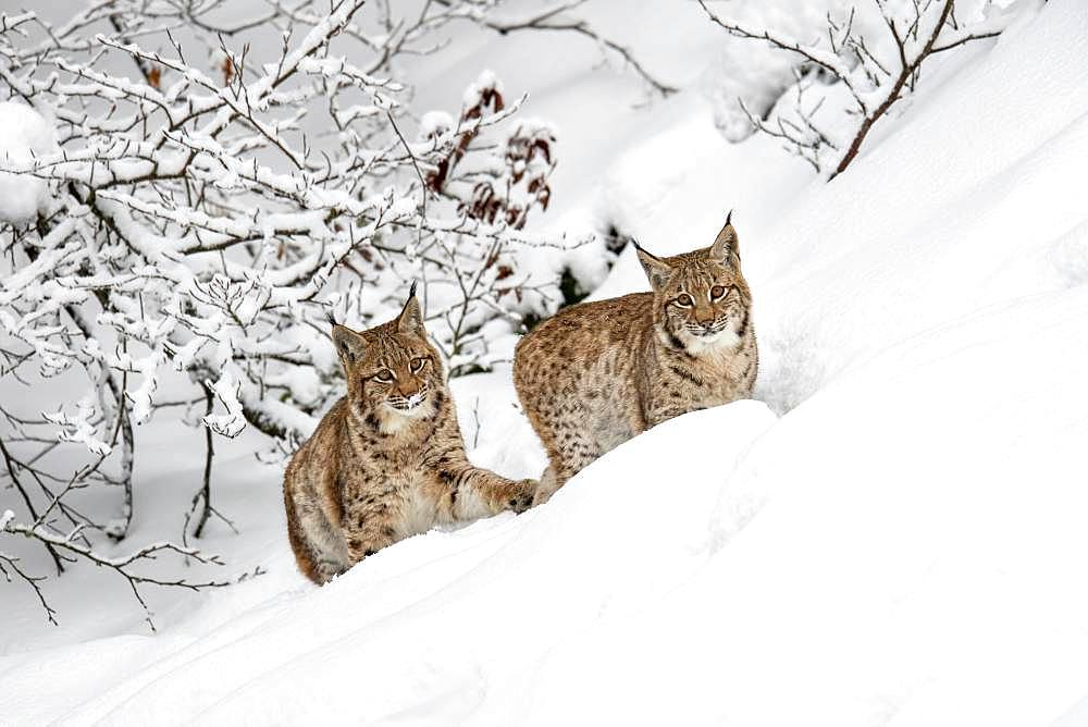 Two young Eurasian lynxes (Lynx lynx), running in deep snow, captive, Bavarian Forest, Bayern, Germany, Europe - 832-385392