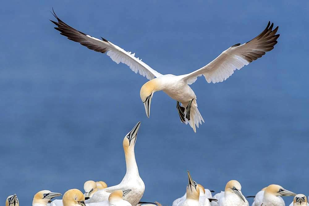 Northern gannet (Morus bassanus) approaching, colony on Lummenfelsen, Heligoland, Schleswig-Holstein, Germany, Europe