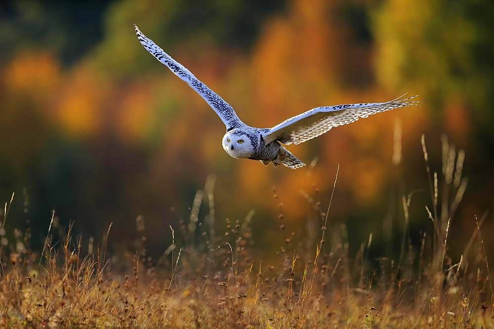 Snowy owl (Nyctea scandiaca), adult, flies over meadow, Slovakia, Europe
