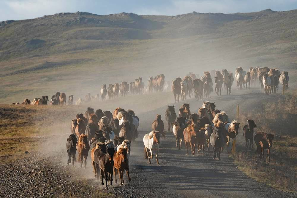 Icelandic horses (Equus islandicus), herd is driven from the highlands into the valley, horse drive or Rettir, near Laugarbakki, North Iceland, Iceland, Europe