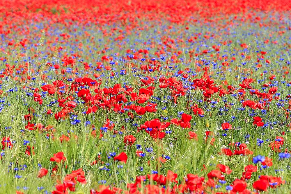 Corn poppies field (Papaver rhoeas) and Cornflowers (Cyanus segetum), Austria, Europe