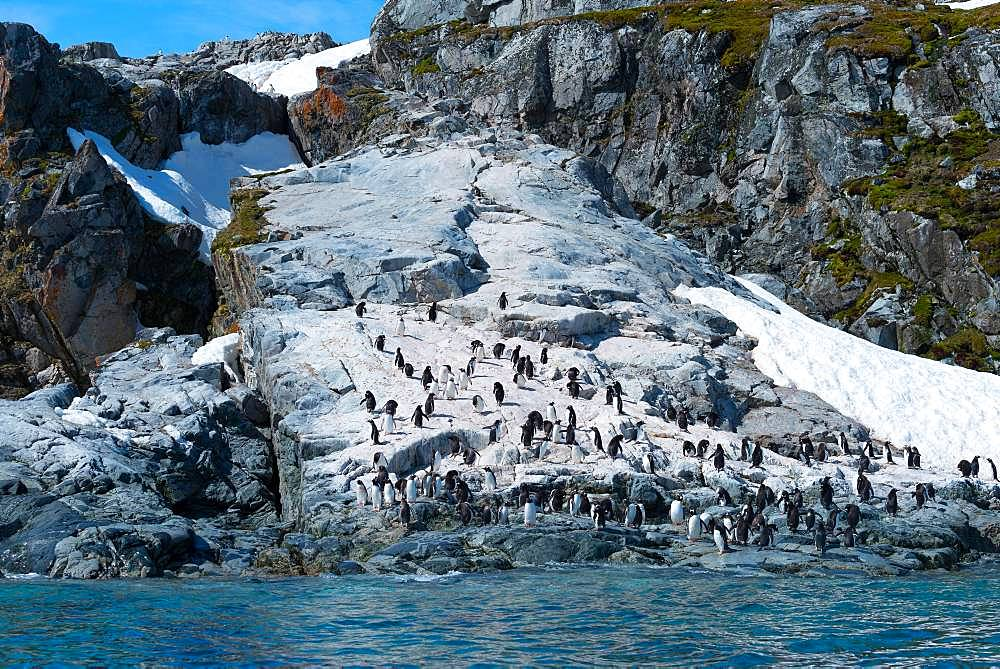 Gentoo penguins (Pygoscelis papua), colony on rocks, Antarctica - 832-385504