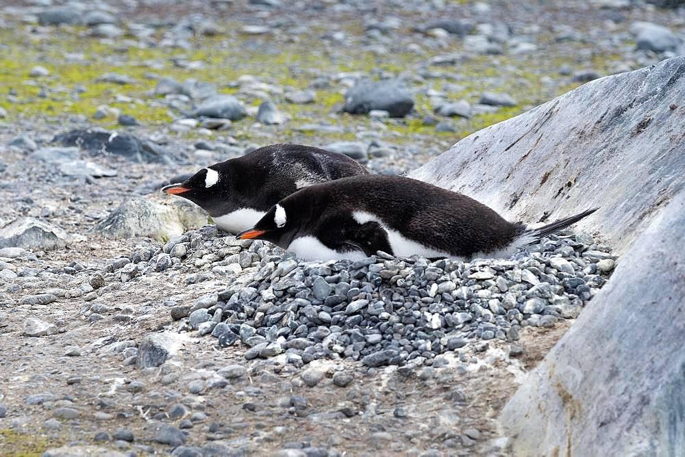 Two Gentoo penguins (Pygoscelis papua) breeding, Antarctica