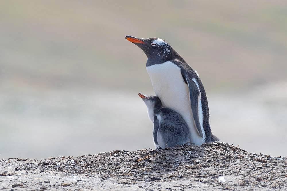 Gentoo penguin (Pygoscelis papua), with xoung animal, Falkland Islands, South America