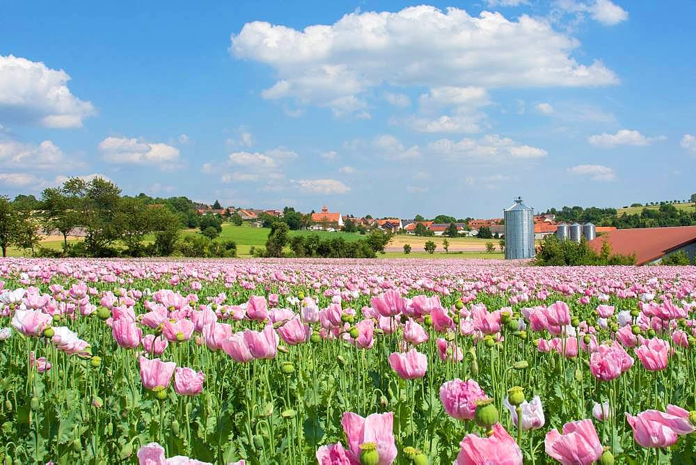 Poppy field, flowering Opium poppy (Papaver somniferum), Grandenborn, Hesse, Germany, Europe