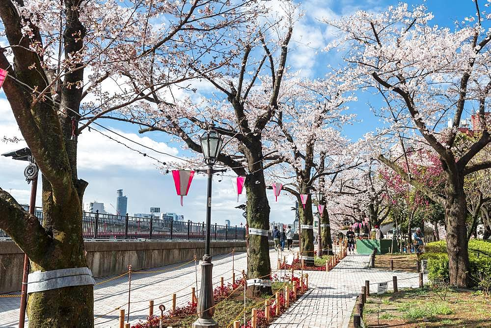 Hanging lanterns for the Hanami Festival, Sumida Park with flowering cherry trees, waterfront on Sumida River, Asakusa, Tokyo, Japan, Asia