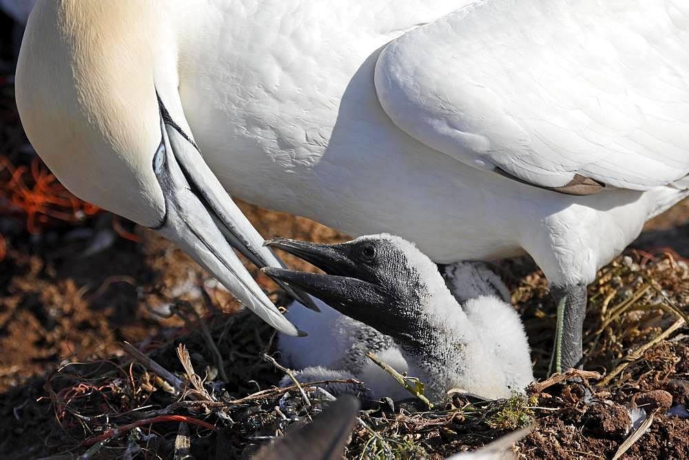 Northern gannet (Sula bassana) feeds chicks in the nest, Helgoland, Schleswig-Holstein, Germany, Europe