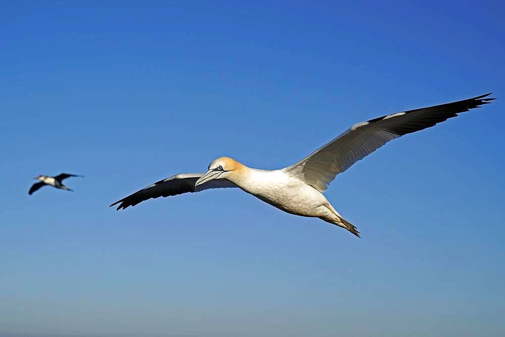 Northern gannet (Sula bassana) flying, Helgoland, Schleswig-Holstein, Germany, Europe