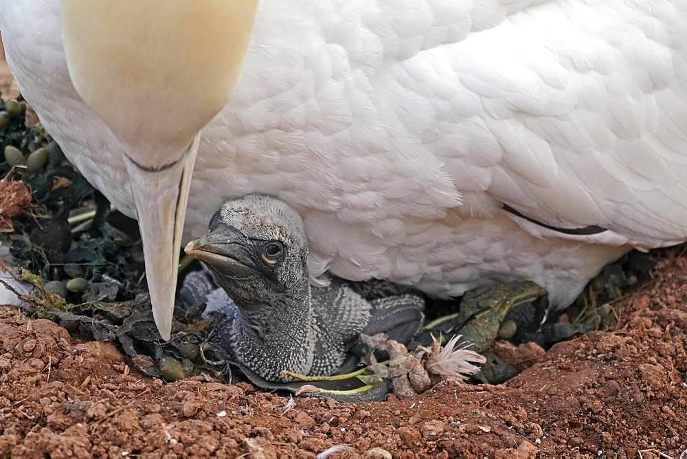 Northern gannet (Sula bassana), chicks in nest under mother animal, Helgoland, Schleswig-Holstein, Germany, Europe