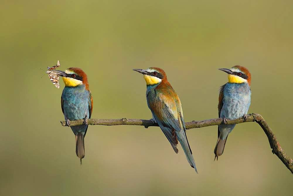 European bee-eaters (Merops apiaster), three birds are sitting on branch, National Park Lake Neusiedl, Burgenland, Austria, Europe