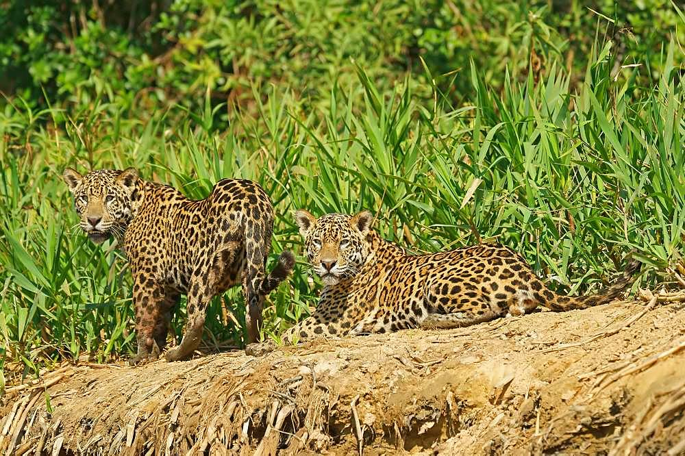 Two Jaguars (Panthera onca), male, lying on the riverbank, Pantanal, Mato Grosso, Brazil, South America